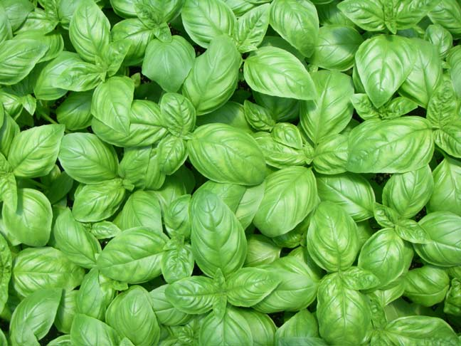 how to grow basil in florida